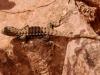 grand-canyon-lizard-crosses-rock