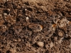 grand-canyon-mule-urine-and-manure-in-sand-on-path
