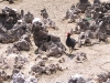 Grand Cayman - Red-Billed Bird Walks in Hell