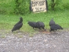 Cahuita - Black Vultures in Town