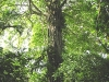 Fica Tree