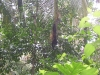 Cahuita - Hanging Howler Monkey 1