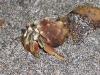 Osa - Hermit Crab
