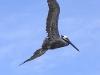 Osa - Pelican