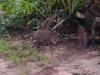 Cahuita - Raccoon