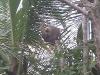 Cahuita - Sloth