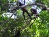 Osa - Spider Monkeys