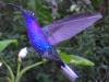 Monteverde - Violet Sabrewing