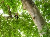 Osa - White Faced Monkey in Tree Canopy