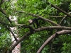 Osa - White Faced Monkey Walks on Branch