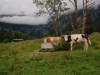 alps-tan-and-brown-cows-in-the-misty-alps