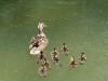 olympianstadtpark-duck-with-eight-ducklings