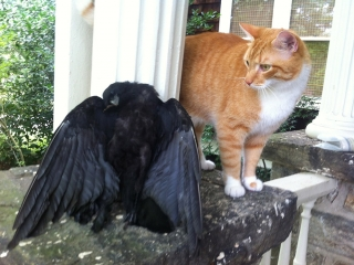 Griffin Looks over Dead Crow