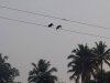 alleppey-kingfishers-on-a-line