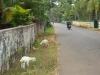 alleppey-lambs-graze-on-roadway