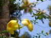 alleppey-yellow-flowers