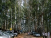 munnar-cars-and-tall-straight-trees-near-the-lake