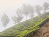 munnar-foggy-trees-on-a-tea-hill