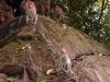 munnar-monkeys