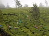 munnar-picking-some-tea