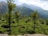 munnar-trees-tea-and-mountains