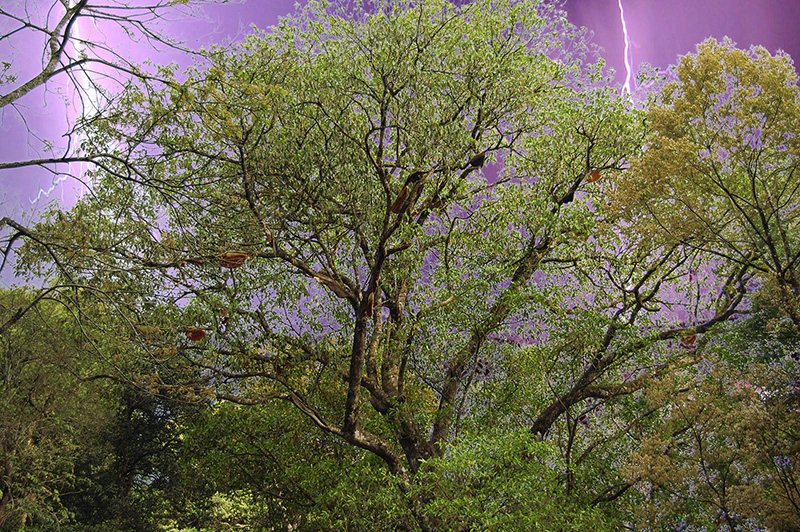 munnar-lightning-behind-jackfruit-tree