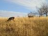 Shenandoah - Three Deer Atop Big Field