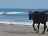 poneloya-beach-black-cow-on-his-way