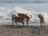 poneloya-beach-dogs-having-sex