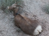badlands-mountain-goat-laying-down