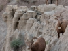 badlands-mountain-goats-begin-their-downward-climb