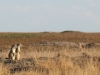 badlands-prairie-dogs-stand-against-the-sky