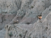 badlands-two-mountain-goats-on-the-edge-ponder-their-choices