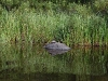 boundary-waters-turtle-on-the-rock