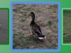 madison-three-phases-of-ducks