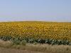 sunflowers-a-sea-of-sunflowers