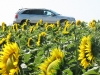 sunflowers-our-car-amongst-the-sunflowers