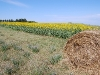 sunflowers-with-big-hay-roll