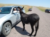 custer-state-park-a-donkey-approaches-cagg-and-manu