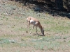 custer-state-park-a-lone-antelope