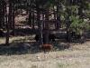 custer-state-park-baby-buffalo