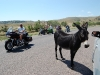 custer-state-park-bikers-look-at-donkey-looking-at-our-car