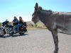 custer-state-park-bikers-photograph-our-donkey