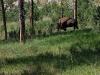 custer-state-park-lone-buffalo-grazes