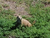 custer-state-park-prairie-dog-in-the-green-grass