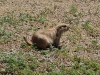 custer-state-park-prairie-dog-looks-right