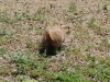 custer-state-park-prairie-dog-turns-away