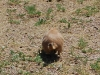 custer-state-park-prairie-dogs-fat-butt-as-he-scampers-away