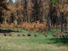 custer-state-park-the-march-of-the-fowl