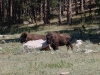 custer-state-park-two-buffalo